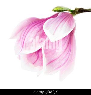 Helle Studioaufnahme einer Magnolienblüte auf weißem Hintergrund - Stock Photo