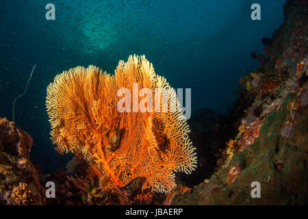 Healthy orange gorgonian sea fan standing tall surrounded by a schooling small fish the deep blue water in Myanmar - Stock Photo