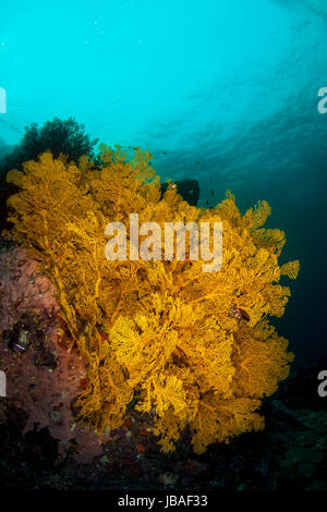 Healthy bright yellow gorgonian sea fans hanging on a wall in the crystal clear blue water in Myanmar - Stock Photo