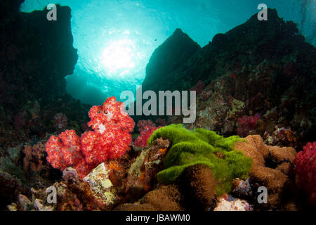 Beautiful healthy red soft corals shining on a big rock in the crystal clear water - Stock Photo