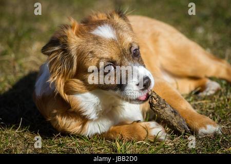 Ein noch ganz Junger Hund beim nagen an einem Stock, der hund liegt in einer Wiese und genießt das nagen. - Stock Photo