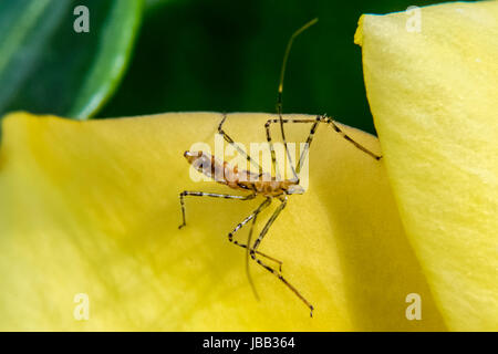 Dangerous mosquito on a yellow flower petal - Stock Photo