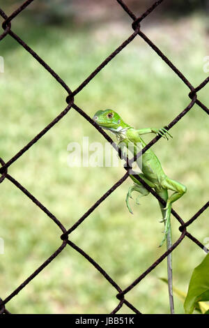 Small, light green iguana on a metal fence outdoors on a sunny day in Florida. - Stock Photo