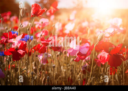 Red and pink poppies with wildflowers in sunny summer meadow