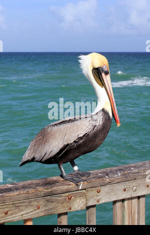 Close up of a large brown gray black white yellow red orange adult pelican seen from the side standing on a pier - Stock Photo