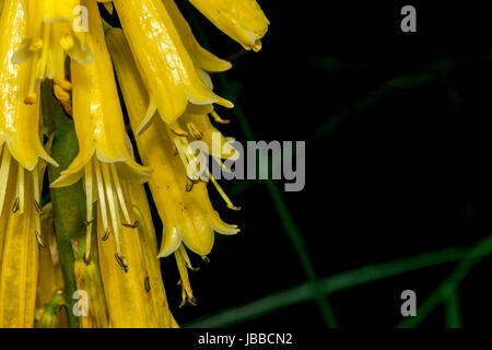 Little yellow bell flowers in a park stock photo 144695646 alamy little yellow bell flowers in a park stock photo mightylinksfo