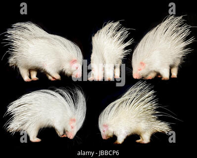 collection of porcupine isolated on black background - Stock Photo