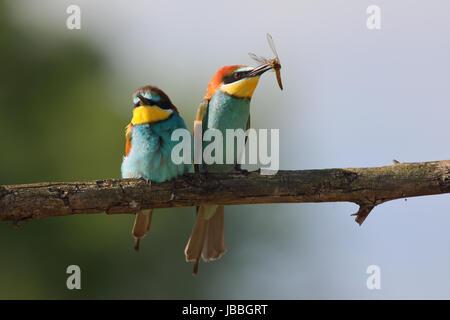 European bee-eater (Merops apiaster) with prey - Stock Photo