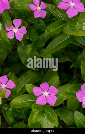 Little pink periwinkles flower in the wild - Stock Photo