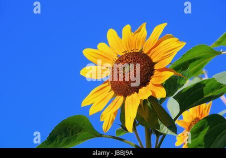 Sonnenblumen - sunflowers 38 - Stock Photo