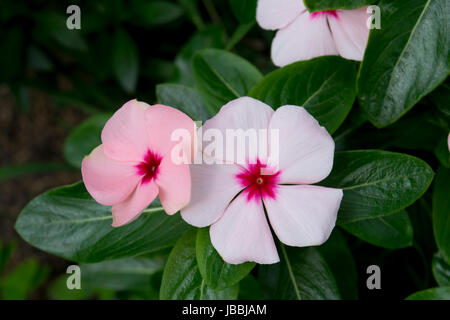 White and pink periwinkles in the wild - Stock Photo