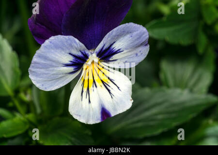 Cute pansy flower and stamen close up - Stock Photo
