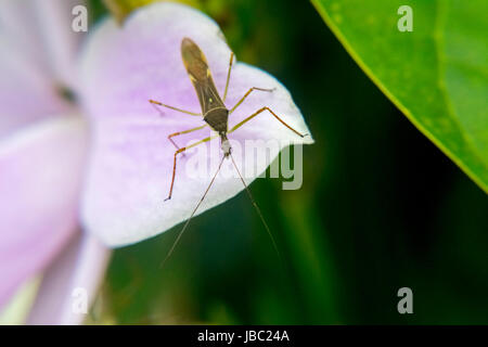 Big mosquito on a pink flower petal - Stock Photo