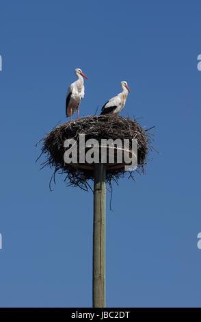 Weißstorchpaar in ihrem 'Horst'