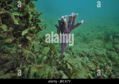 Bright purple finger sponge next to bush of brown sea weed on flat bottom where everything is covered with layer - Stock Photo