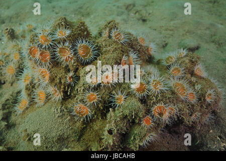 Cluster of white-striped anemones Anthothoe albocincta on rock covered with layer of sediment partially buried in - Stock Photo