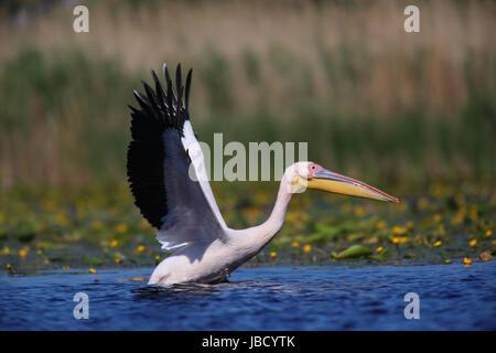 Great white pelican (Pelecanus onocrotalus) in the Danube River Delta in Romania - Stock Photo
