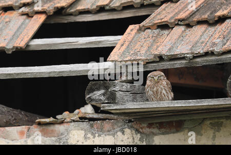 Little owl (Athene noctua) on it's lookout spot in a derelict building. Periprava, Romania - Stock Photo
