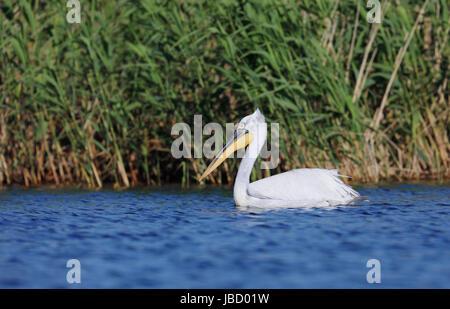 Dalmatian pelican (Pelecanus crispus) in the Danube River Delta in Romania - Stock Photo