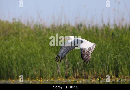 Dalmatian pelican (Pelecanus crispus) in flight over the Danube River Delta in Romania - Stock Photo