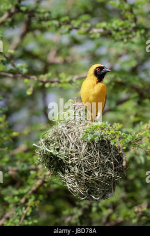 Male Southern Masked Weaver (Ploceus velatus) in breeding colors stood on top of his nest at Witsand nature reserve, - Stock Photo