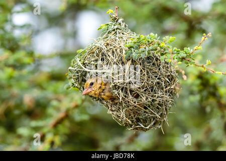 Female Southern Masked Weaver Bird  (Ploceus velatus) inside her grass nest - Stock Photo