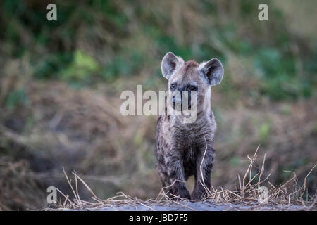 Young Spotted hyena starring in the Chobe National Park, Botswana. - Stock Photo