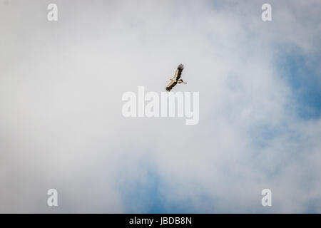 Flying Secretary bird in the Kgalagadi Transfrontier Park, South Africa. - Stock Photo