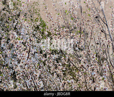 Vintage textured postcard with almond bush in high blossom