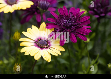 Osteospermum Serenity Blue eyed Beauty and Osteospermum 3D Purple flowers in early summer. - Stock Photo