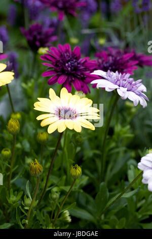 Osteospermum Serenity Blue eyed Beauty, Osteospermum 3D Purple and Osteospermum 3D Violet Ice flowers in early summer. - Stock Photo