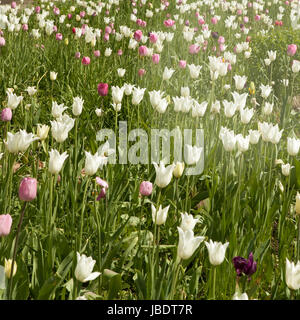 A large field of pink and white tulips on show - Stock Photo