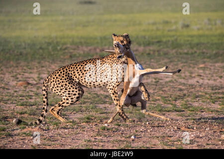 Cheetah (Acinonyx jubatus) with springbok calf kill (Antidorcas marsupialis), Kgalagadi transfrontier park, Northern - Stock Photo