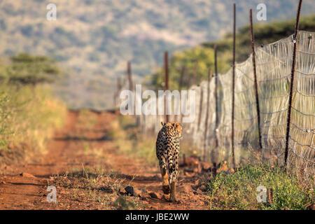 Cheetah (Acinonyx jubatus) patrolling reserve fence, Zimanga private game reserve, KwaZulu-Natal, South Africa, - Stock Photo
