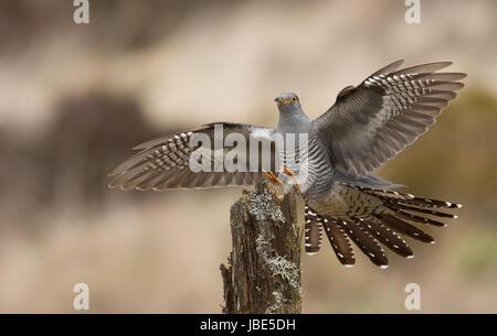 Cuckoo male landing on post - Stock Photo