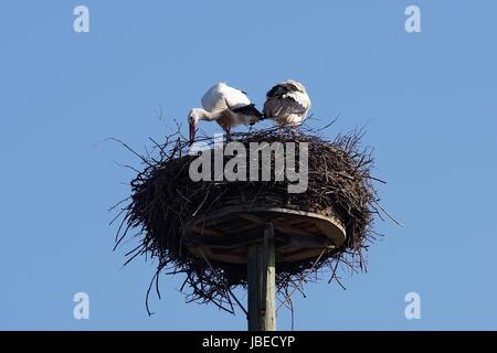 Weißstorchpaar beim Nestbau