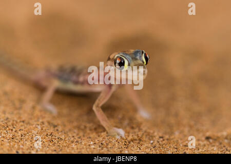 Close up a desert gecko, Namib desert, Namibia - Stock Photo