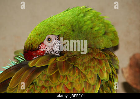 Military Macaw - Stock Photo