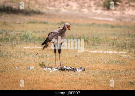 Secretary bird standing at a kill in the Kgalagadi Transfrontier Park, South Africa. - Stock Photo