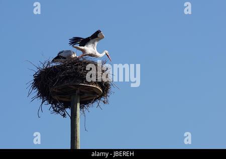 Weißstorch beim Abflug vom 'Horst' - Stock Photo