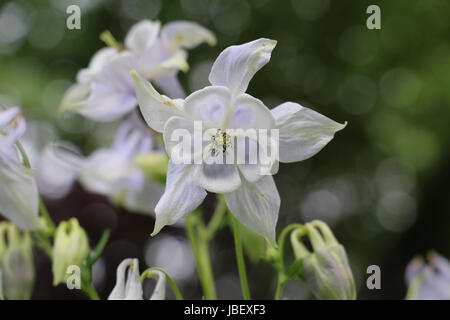 White Aquilegia flowers, Columbine or Grannys Bonnets white and pale lilac petals and sepals, flowering in summer - Stock Photo