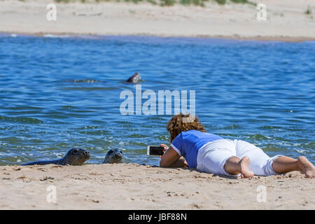 Woman lying on her belly on the beach and taking pictures with smartphone of curious grey sales, Ythan Estuary, - Stock Photo