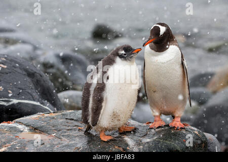 Gentoo penguin and her chick at Dorian Bay, Antarctica - Stock Photo