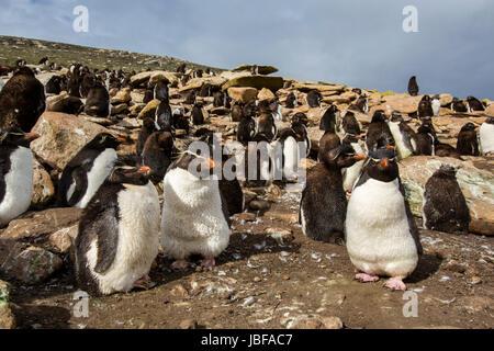Crested Rockhopper penguins on Saunders Island, Falkland Islands - Stock Photo