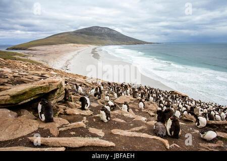 Rockhopper penguins on Saunders Island, Falkland Islands - Stock Photo