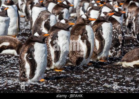 Molting Gentoo penguins at Bluff Cove, Falkland Islands - Stock Photo