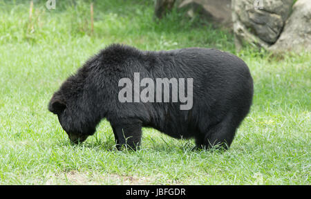 big black bear in zoo Stock Photo