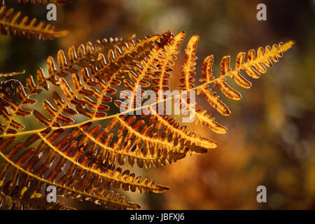 Close-up of colorful (yellow, brown) back-lit bracken fern frond turning golden in the autumn. - Stock Photo