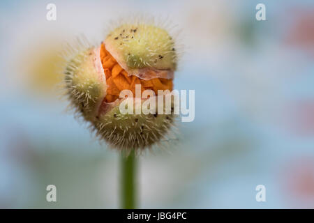 Welsh Poppy Bulb Close Up - Stock Photo