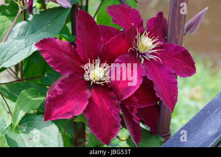 bordeaux farbene Clematis - Stock Photo